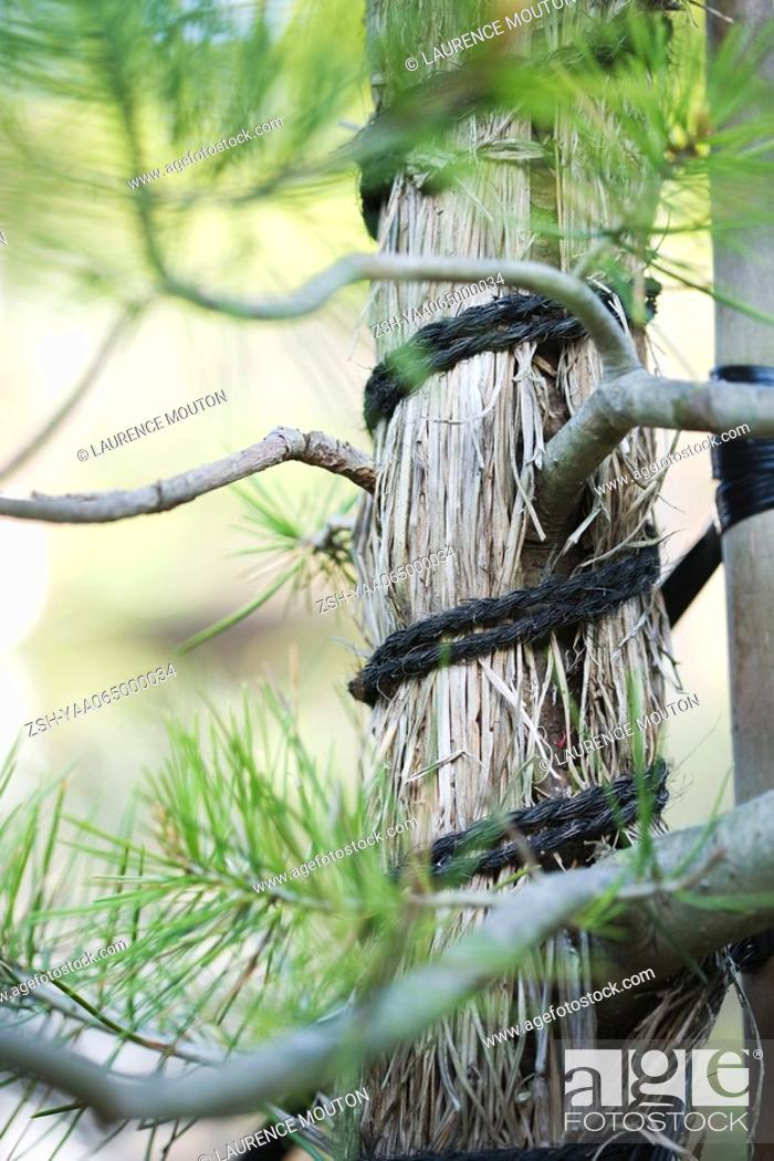 Stock Photo: Tree trunk wrapped with straw and rope, close-up.