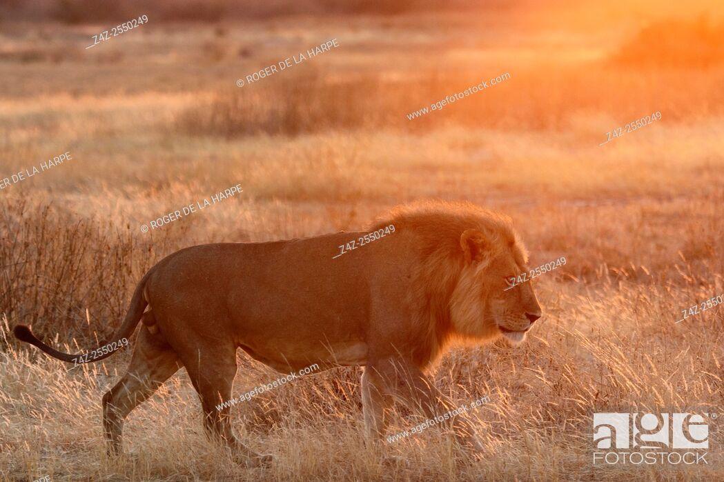 Imagen: Masai lion or East African lion (Panthera leo nubica syn. Panthera leo massaica) male walking. Ruaha National Park. Tanzania.