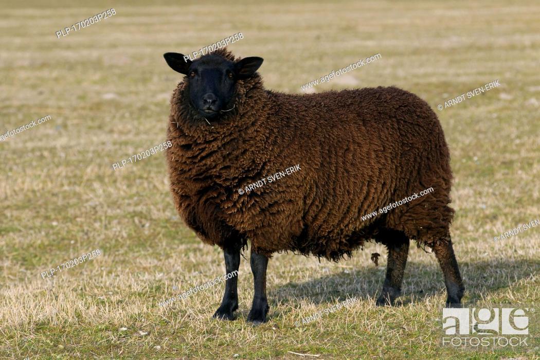 Stock Photo: East Friesian / Schwarz-Braun Ostfriesische Milchschaf, breed of dairy sheep originating from East Frisia in northern Germany.