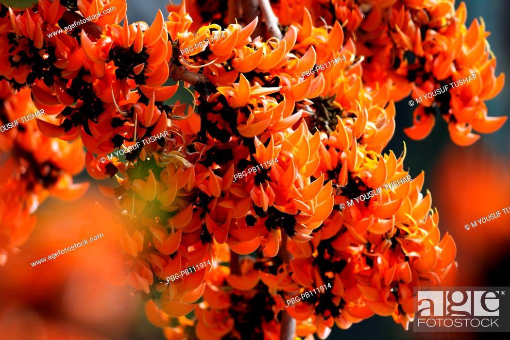 Bengali name Palash flower, Butea Monosperma, during spring