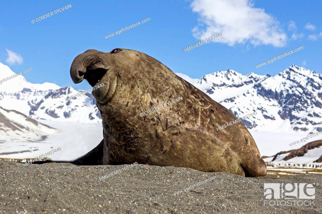 Stock Photo: Antarctic, South Georgia Island, Saint Andrews plains, Southern Elephant Seal (Mirounga leonina), male.