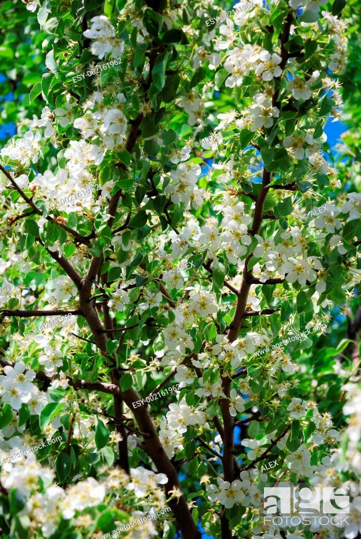 Stock Photo: Branches of a blossoming pear.