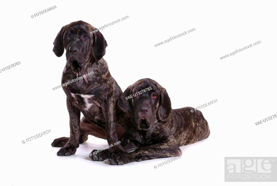 Stock Photo: canines, animal, domestic, fila, dog, loving, pet.