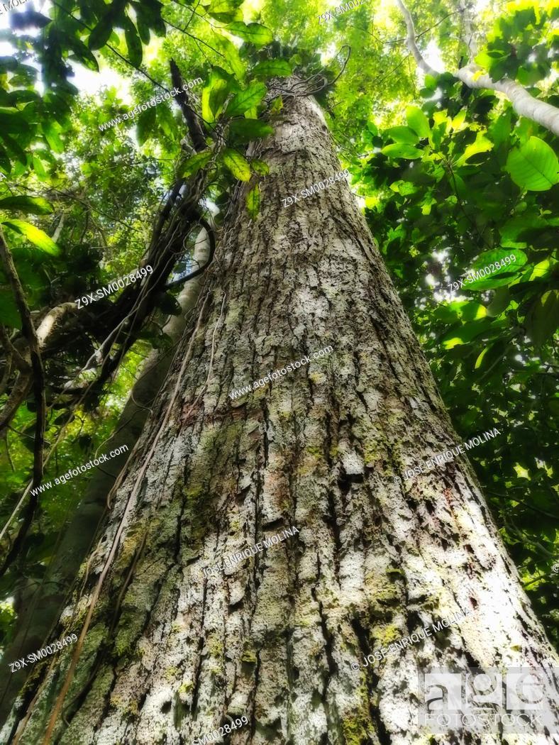 Stock Photo: Amazonian rain forest.Tornillo tree (Cedrelinga catanaeformis), Peruvian jungle. Huanuco department, Perú, South America.