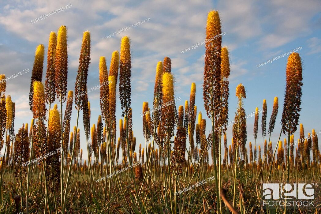 Imagen: Foxtail Lily (Eremurus x isabellinus) 'Cleopatra', flowering, commercial nursery crop growing in field, Holbeach St. Johns, Moulton Fens, South Holland.