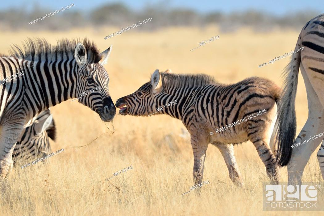 Stock Photo: Burchell's zebras (Equus burchelli), young foal and a baby zebra, face to face, in dry grass, Etosha National Park, Namibia, Africa.