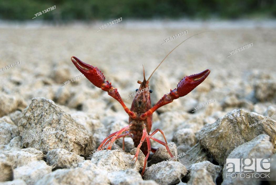 Stock Photo: Spain, Mallorca, Cuber Reservoir, American crayfish Procambarus clarkii.