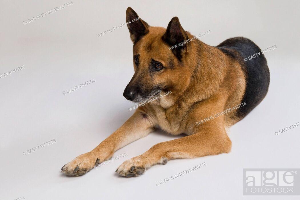 Stock Photo: German Shepherd dog.
