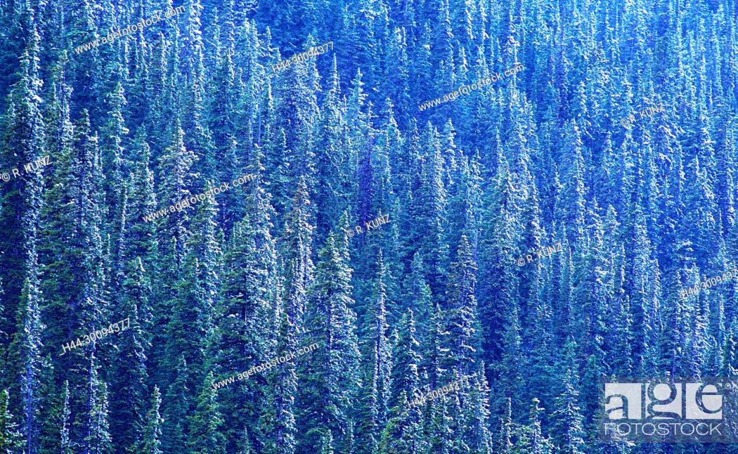 Stock Photo: Coniferous forest, snowy, summer snow, Kananaskis Trail, Kananaskis country, Province of Alberta, Canada.