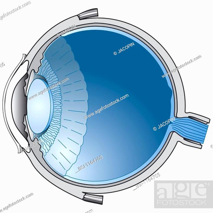 EYE, DRAWING<BR>Anatomy of the right eye. Horizontal cross-section ...