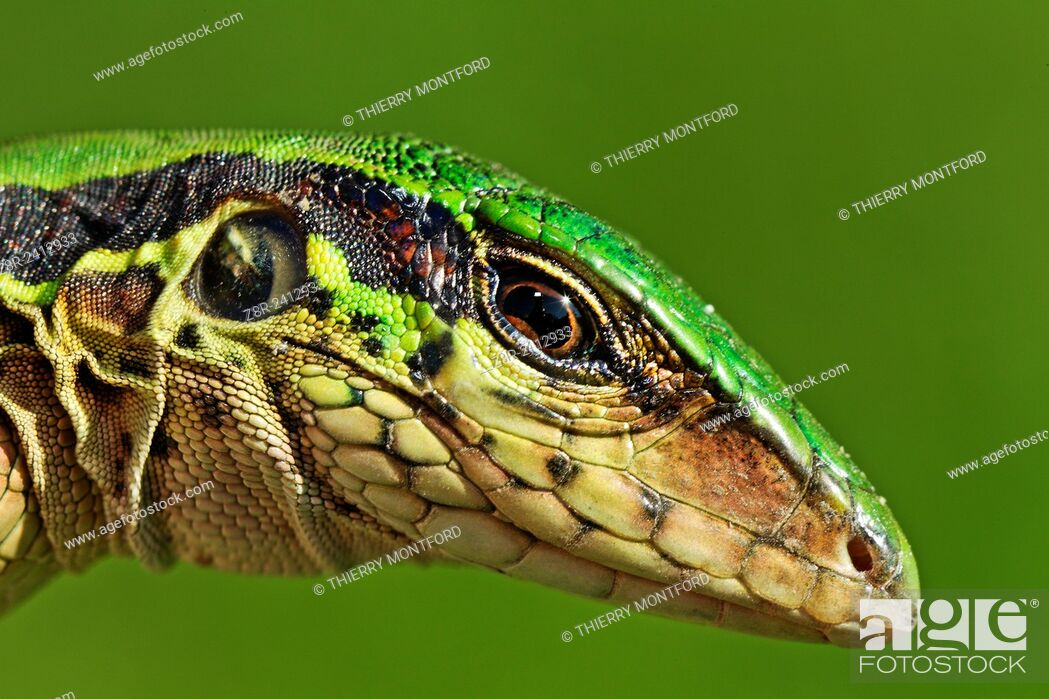 Stock Photo: Ameiva ameiva. Green ameiva. South american ground lizard, very common in the gardens and in the forests opened areas. French Guiana.