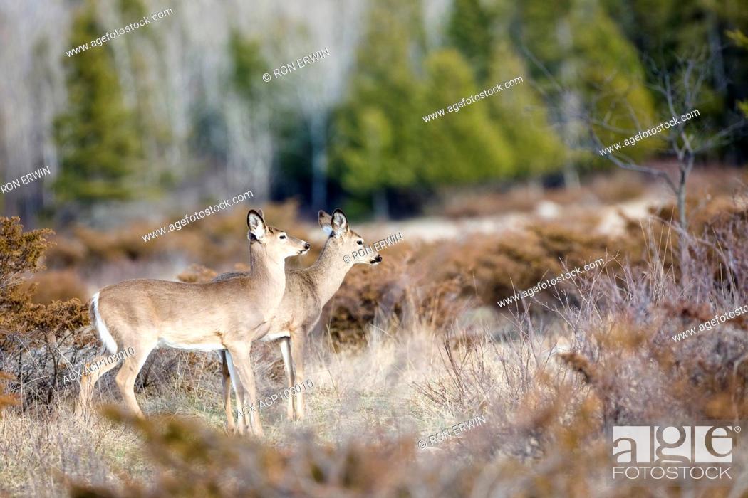 Photo de stock: Two White-tailed Deer (Odocoileus virginianus), Barrie Island, Manitoulin Island, Ontario, Canada.