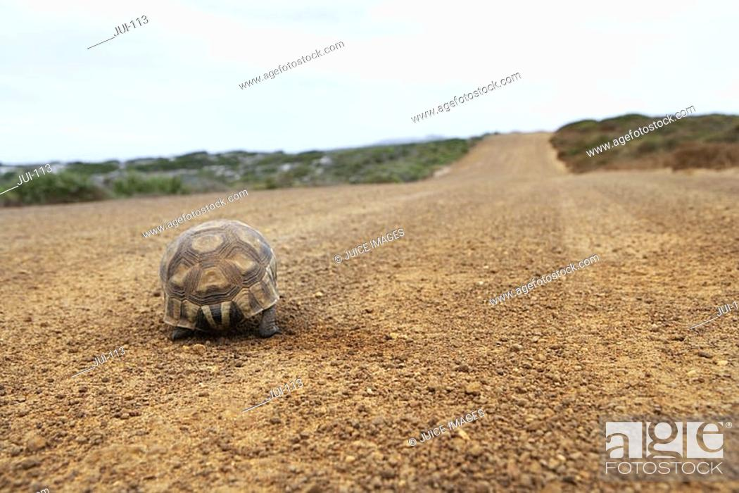 Stock Photo: Tortoise walking along dirt road, rear view, surface level.