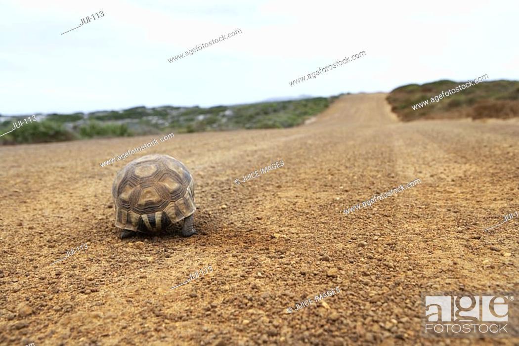 Stock Photo: Tortoise walking along dirt road, rear view, surface level.