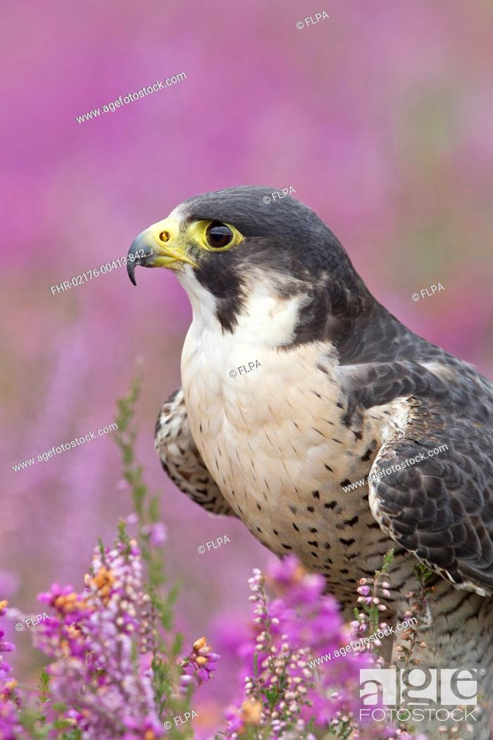 Stock Photo: Peregrine Falcon Falco peregrinus adult, close-up of head and chest, standing amongst flowering heather, September captive.