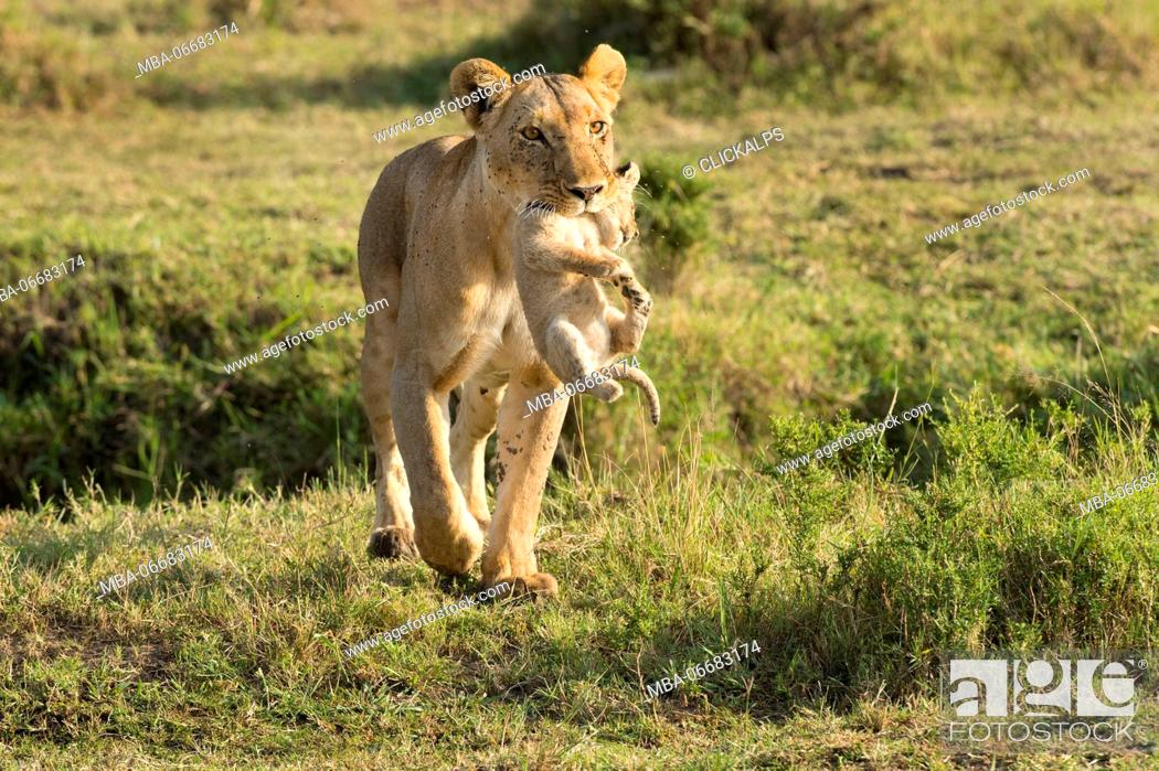 Imagen: Masai Mara Park, Kenya, Africa Lioness with cub in mouth photographed in the Masai mara.