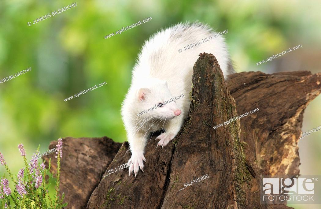 Stock Photo: Domestic polecat on tree stump / Mustela putorius f furo.