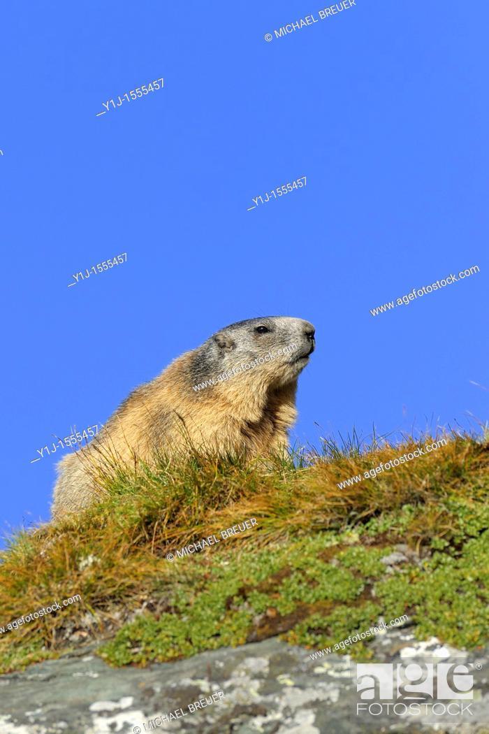 Stock Photo: Alpine marmot, Marmota marmota, Hohe Tauern National Park, Austria, Europe.