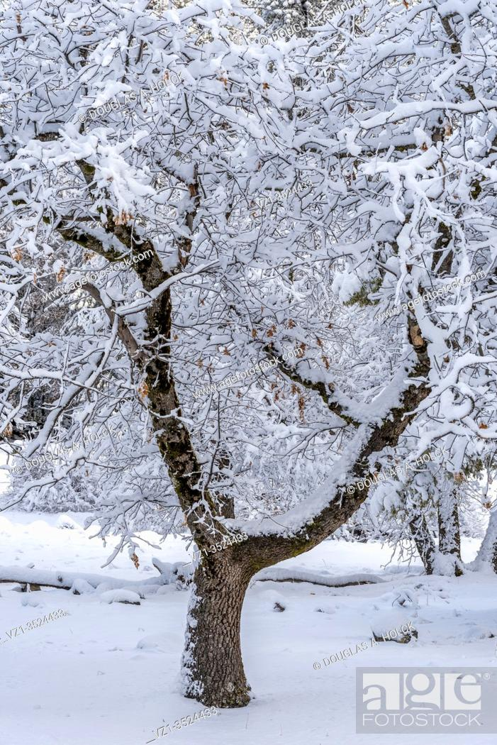 Imagen: Snow Covered Tree in Yosemite Valley.
