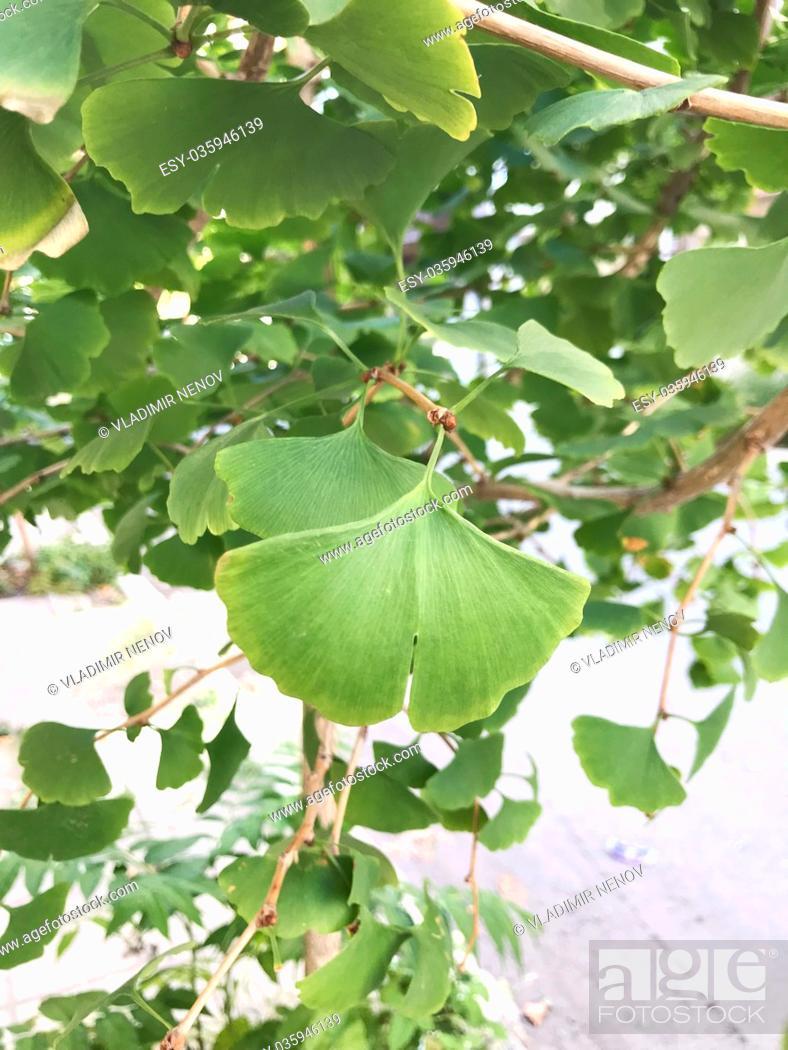 Stock Photo: Ginkgo biloba tree.