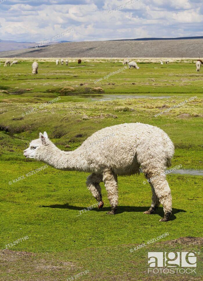 Imagen: Alpacas in Arequipa Region, Peru.