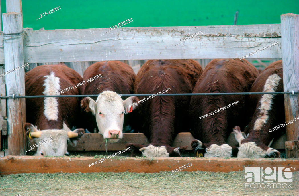 Stock Photo: Cattle in feedlot preparing for market. Cache Creek. British Columbia. Canada.