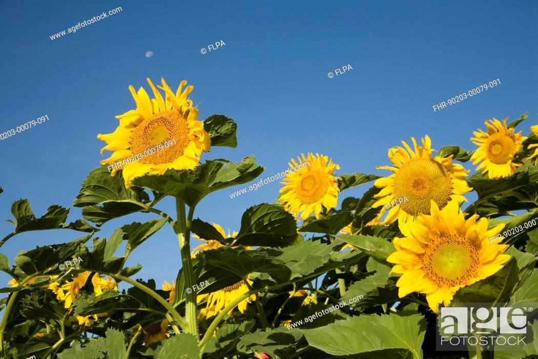 Stock Photo: Sunflower (Helianthus annuus) crop, flowering in field, North Dakota, U.S.A., August.