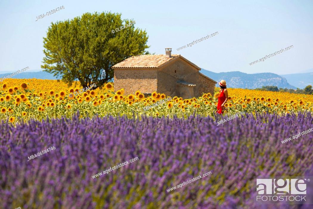 Stock Photo: Europe, France, Provence Alpes Cote d'Azur, Plateau de Valensole, Couple among flowers.