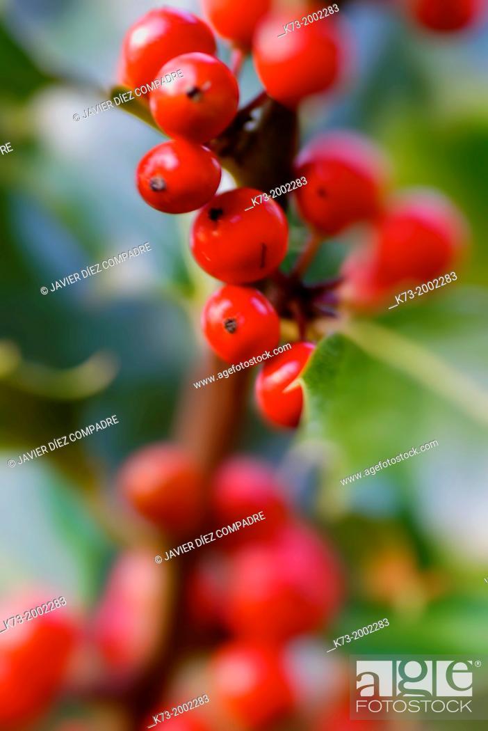 Stock Photo: Holly Berries.Iles Aquifolium Sierra Cebollera Natural Park. Villoslada de Cameros. Logroño Province. La Rioja. Spain.