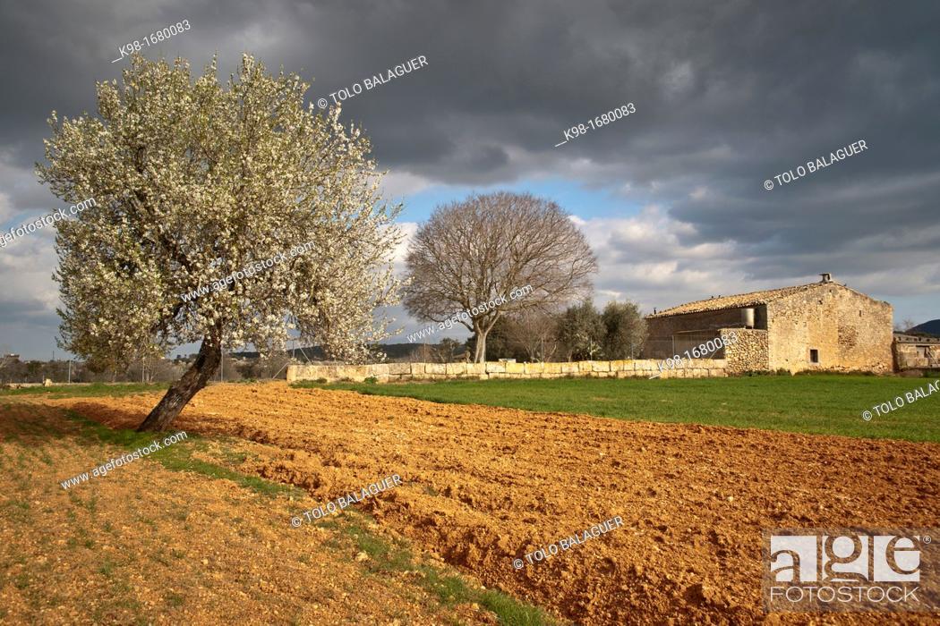 Stock Photo: Field work and Almond Blossom, Prunus dulcis, Algaida, Majorca, Balearic Islands, Spain.