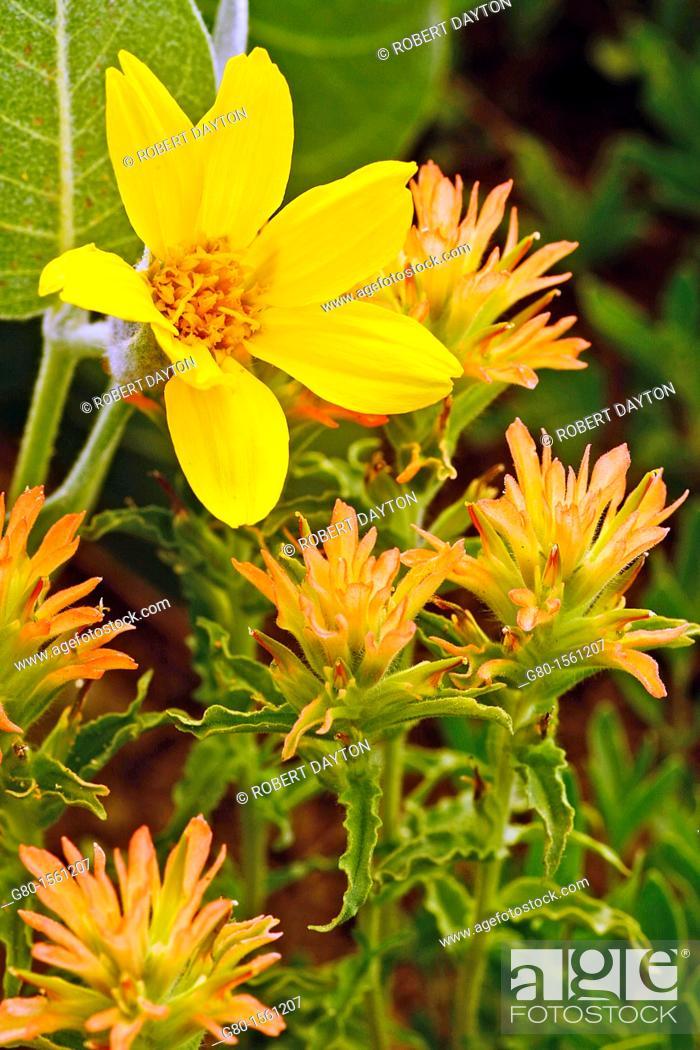Stock Photo: Wildflowers bloom in Carson Pass, California.