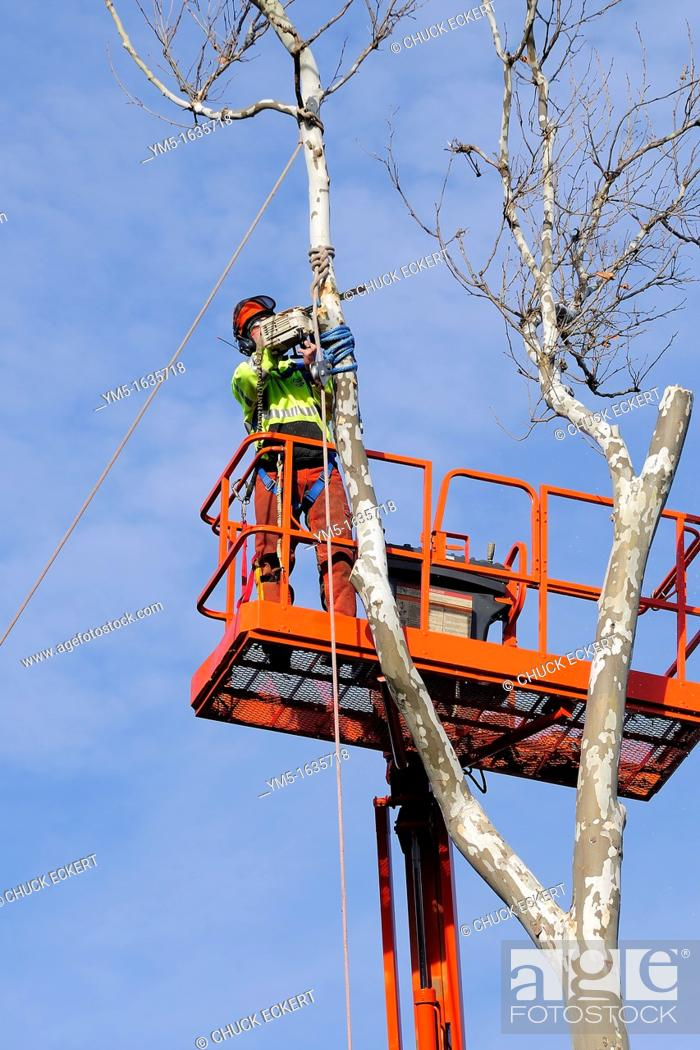 Stock Photo: Tree service worker meticulously cutting down sycamore tree.