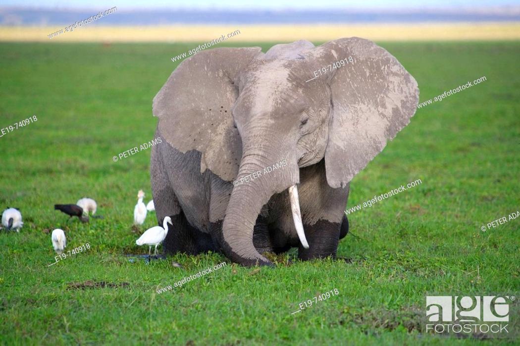 Stock Photo: Elephant, Amboseli National Park, Kenya.