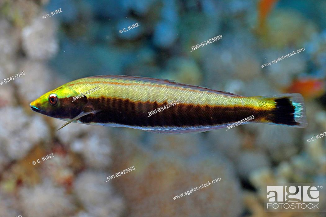 Stock Photo: wrasses (Labridae), juvenile, Egypt, Red Sea.