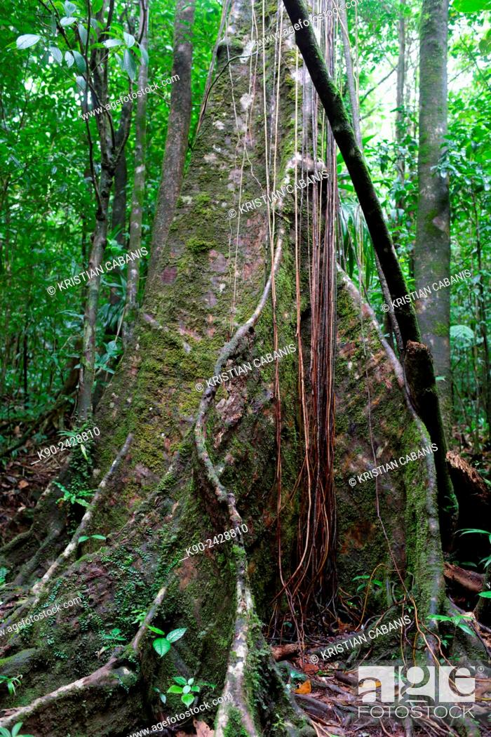 Stock Photo: Giant roots of a Chandelier Tree in the jungle of Morne Trois Piton National Park, Dominica, Windward Islands, Lesser Antilles, Eastern Caribbean Islands.