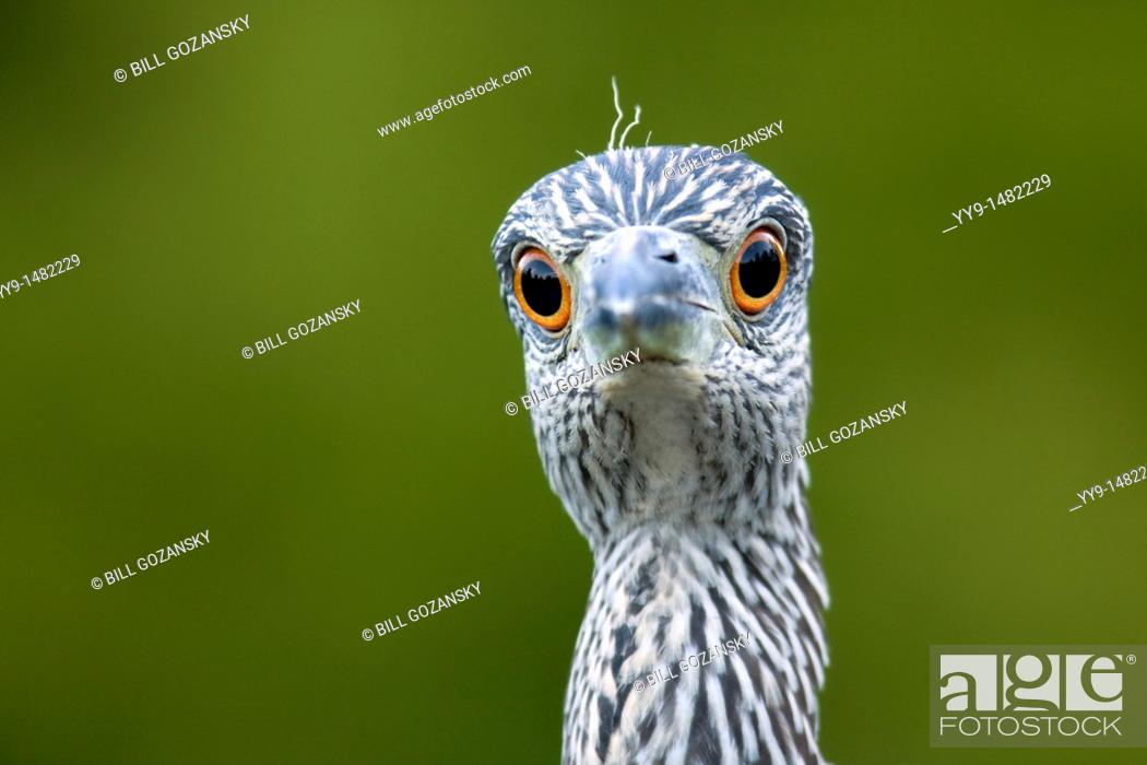 Stock Photo: Juvenile Yellow-crowned Night Heron - Green Cay Wetlands - Delray Beach, Florida USA.