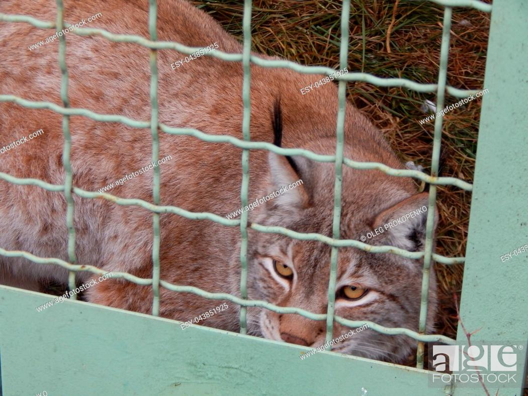 Stock Photo: Lynx in a cage looks close-up.
