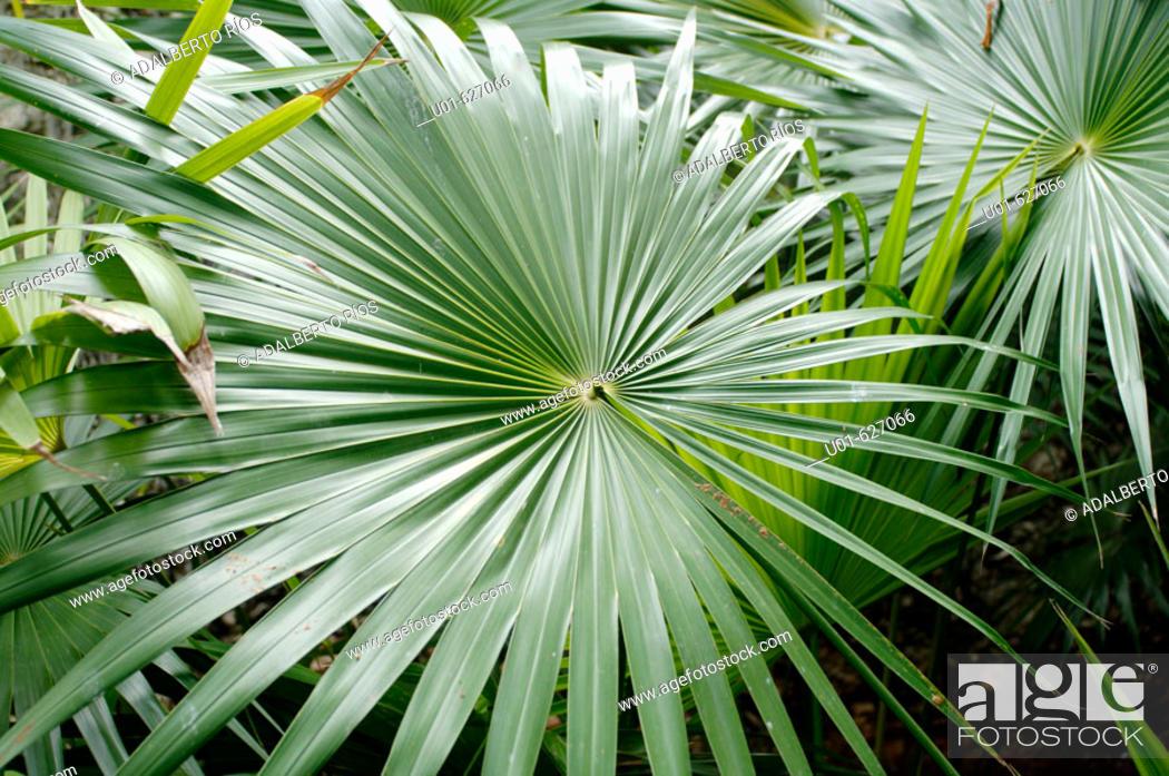 Palm Sabal Sp Leaves Palma De Guano The Guano Palm Has Served