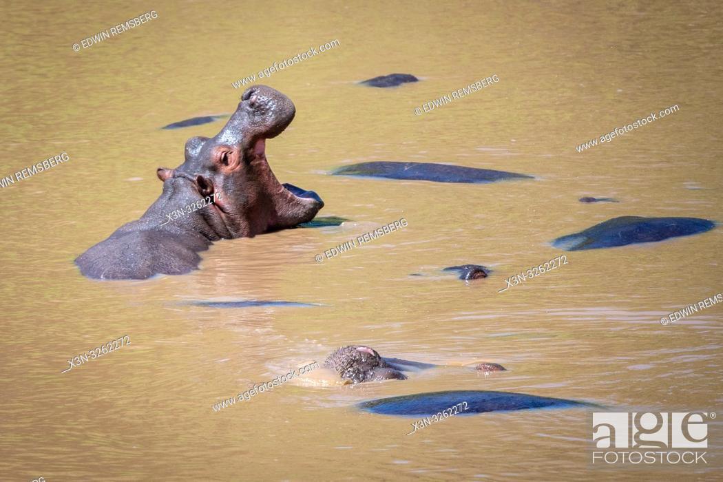 Stock Photo: Several Common hippopotamus (Hippopotamus amphibius) bathe in the muddy water at Maasai Mara National Park, Kenya.