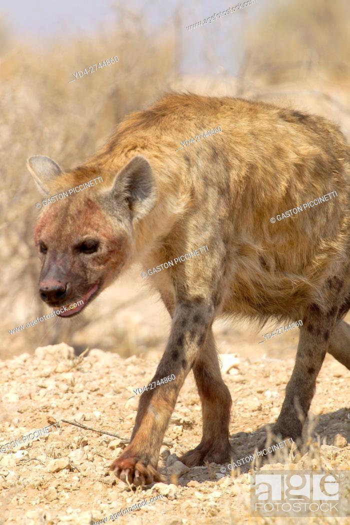 Stock Photo: Spotted hyaena (Crocuta crocuta), Kgalagadi Transfrontier Park, Kalahari desert, South Africa.