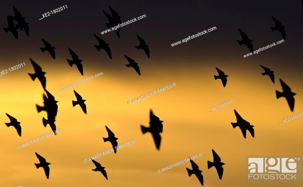 Imagen: Starlings - Sturnus vulgaris, Greece.