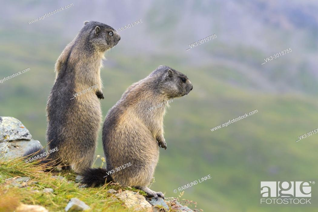 Stock Photo: Alpine Marmot, Marmota marmota, two youngs standing, Hohe Tauern National park, Austria.