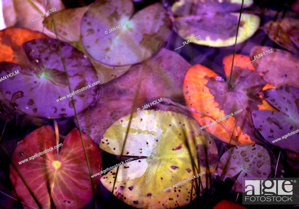 Stock Photo: Autumn colours of lily leaves Nymphaea alba taken in the Scottish Highlands.