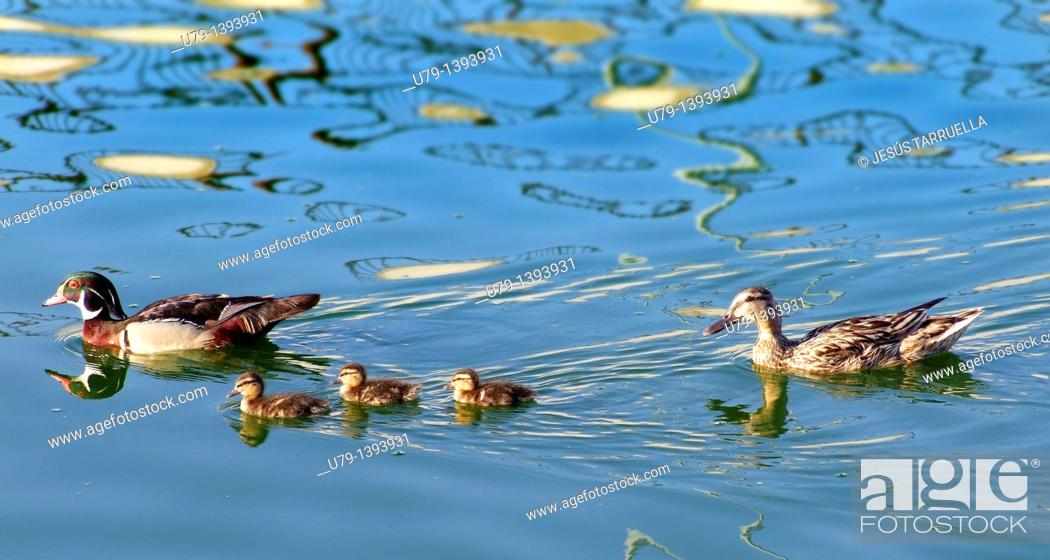 Stock Photo: Family of ducks on the river sailing.