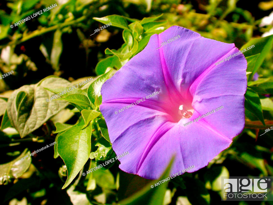 Stock Photo: Morning Glory (Ipomea indica).