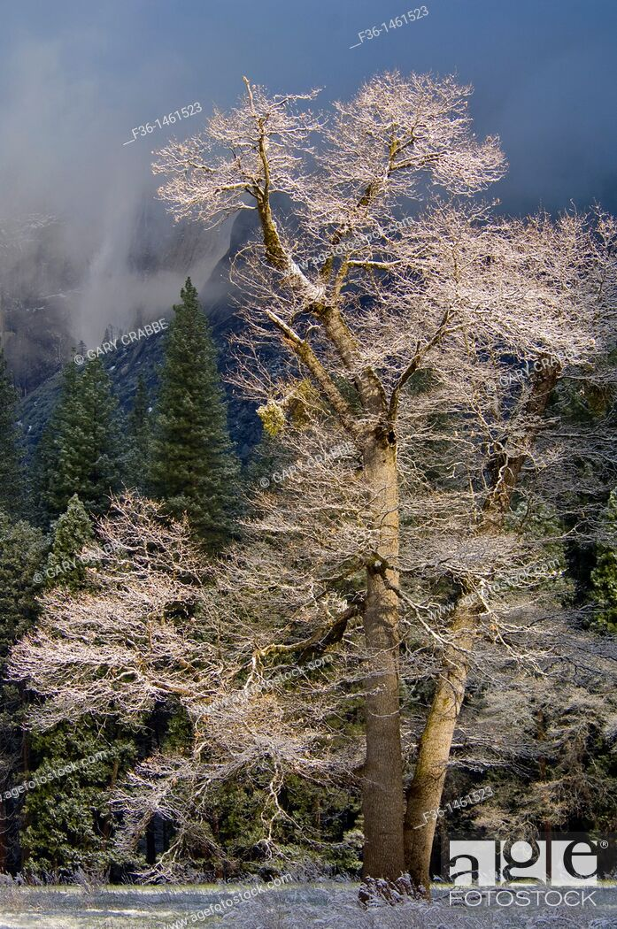 Stock Photo: Frosted trees after a spring snow storm, Yosemite Valley, Yosemite National Park, California.