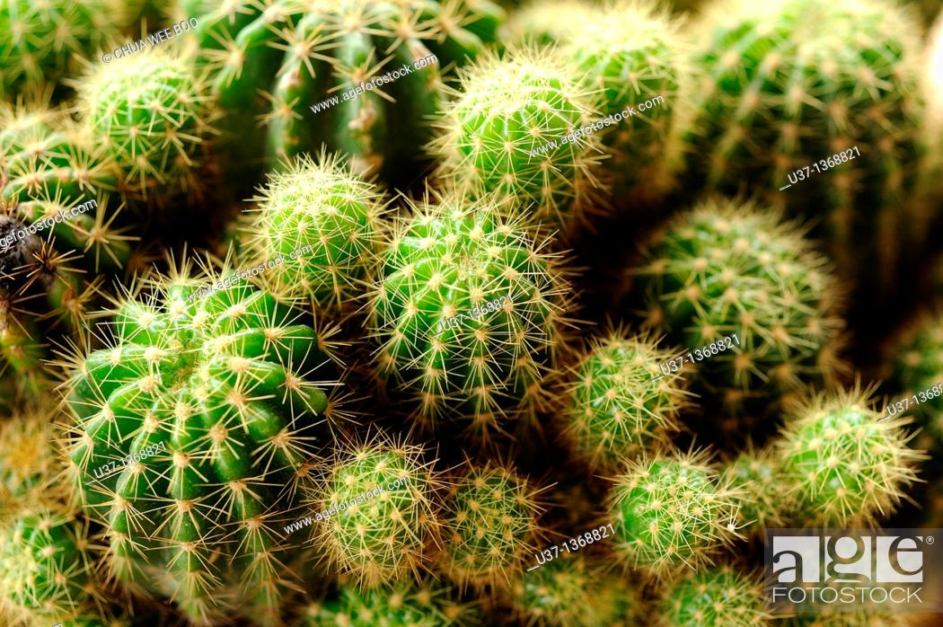 Stock Photo: Cactus.
