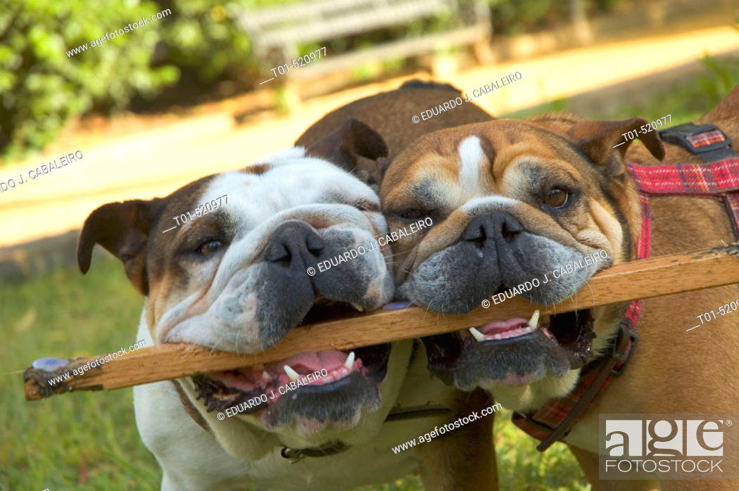 Imagen: Two English bulldogs.