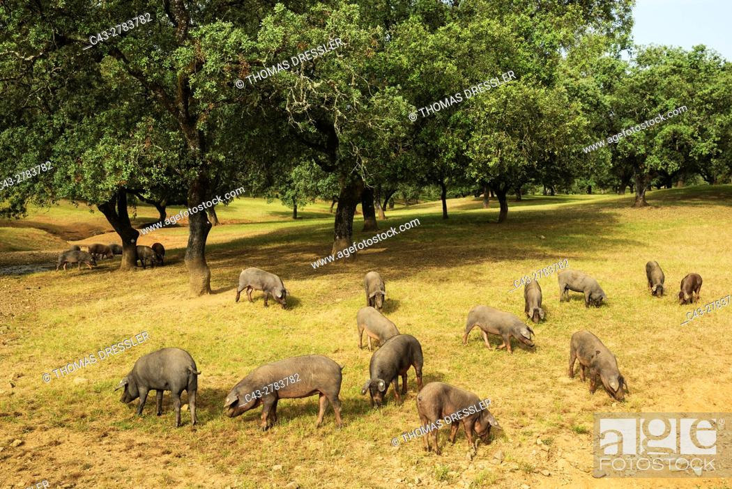 Stock Photo: Grazing pigs and holm oaks (Quercus ilex) in the Sierra de Aracena, which is part of the vast Sierra Morena. The meat of these black pigs make the king of hams.