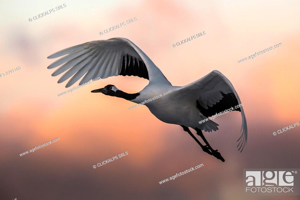 Photo de stock: A Japanese red crested cranes flying above Akan crane center at sunset.
